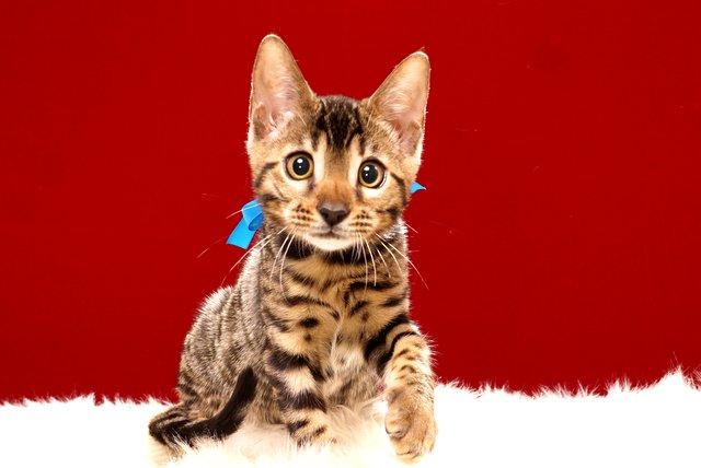 ベンガルの子猫365ブルー