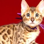 ベンガルの子猫 2019/4/27生 722番パープル メス2