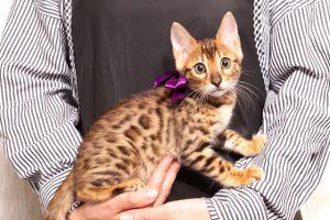 ベンガルの子猫 2019/4/27生 722番パープル メス5