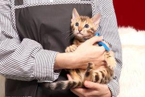 ベンガルの子猫 2019/5/13生 727番ブルー オス5