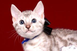 ベンガルの子猫 2019/5/13生 726番ブラック オス2