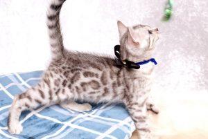 ベンガルの子猫 2019/5/13生 726番ブラック オス3
