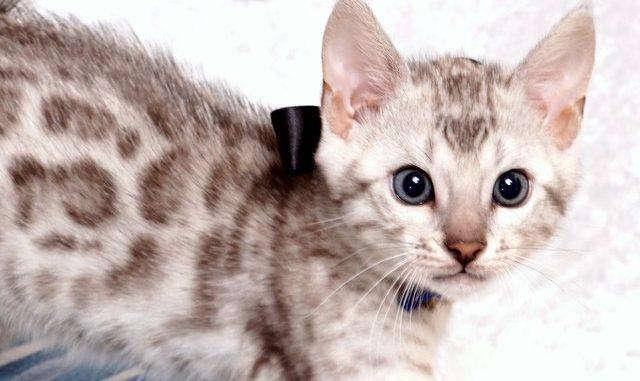 ベンガルの子猫 2019/5/13生 726番ブラック オス4