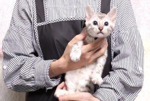 ベンガルの子猫 2019/5/13生 726番ブラック オス6