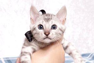 ベンガルの子猫 2019/5/13生 726番ブラック オス7