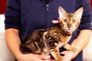 ベンガルの子猫 2017年6月12日生まれ 363番ピンクちゃん