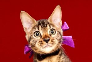 ベンガルの子猫 2017年6月28日生まれ 380番パープル君