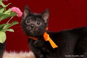 ベンガルの子猫kato 様2