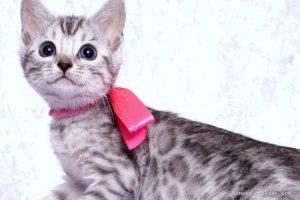 ベンガルの子猫moka 様