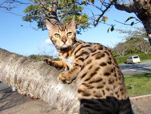 ベンガル猫ナイト910-5