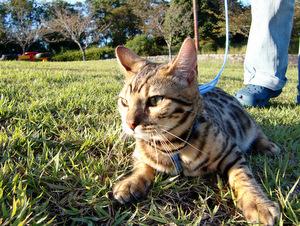 ベンガル猫ナイト910-6