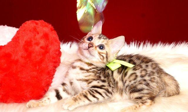 ベンガルの子猫 2019/3/4生 661番イエロー メス7
