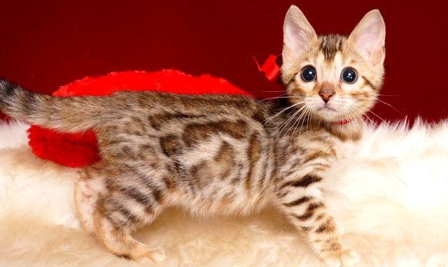 ベンガルの子猫 2019/3/4生 662番レッド メス6