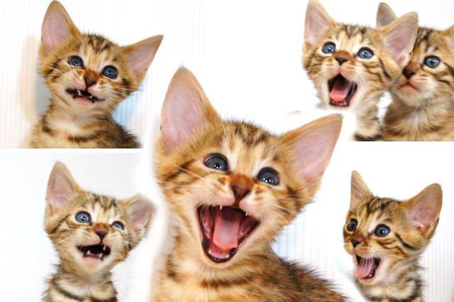 ベンガルの子猫 変顔