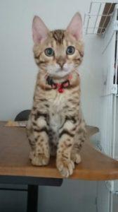 ベンガルの子猫レオ 様