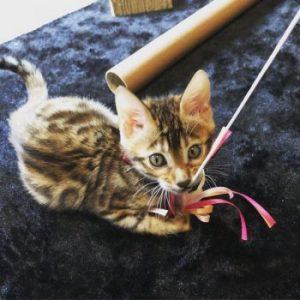 ベンガルの子猫Belle 様