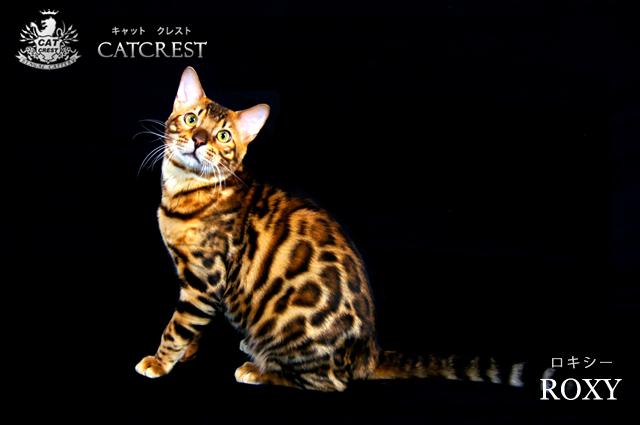 ベンガル猫のロキシー